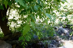 Acer glabrum - Rocky Mountain Maple - Railroad Canyon