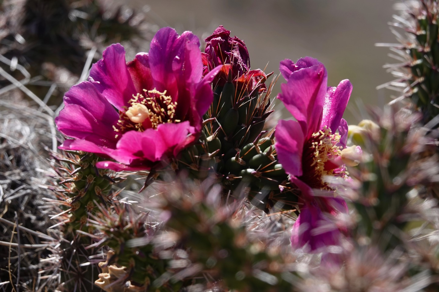 Cylindropuntia spinosior - Cane Cholla - Frying Pan Canyon, Cooke's Range, NM4