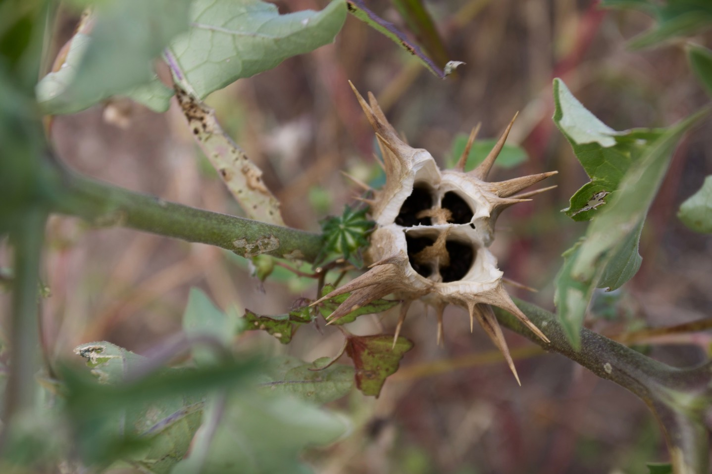 Datura quercifolia, Oak Leaf Thorn Apple, San Lorenzo, NM
