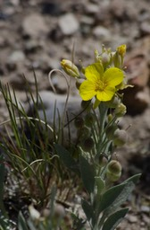 Fendler Bladderpod, Physaria fendleri - East of Hillsboro2