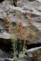 Penstemon barbatus, Scarlet Penstemon, Railroad Canyon, Black Range, July 23, 2017