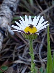 Townsendia formosa, Smooth Townsend Daisy